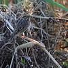 Savannah Sparrow <br /> B K Leach Conservation Area