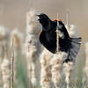 Red-winged Blackbird <br /> B K Leach Conservation Area