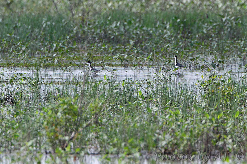 Two more Black-necked Stilts far out <br /> Clarence Cannon National Wildlife Refuge