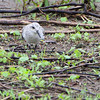 Sanderling <br /> Ellis Bay <br /> Riverlands Migratory Bird Sanctuary