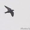 Purple Martin <br /> Ellis Bay <br /> Riverlands Migratory Bird Sanctuary