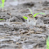 Savannah Sparrow <br /> Confluence Point State Park Road