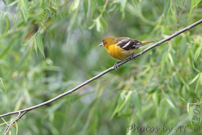 Baltimore Oriole <br /> Pipeline Pool <br /> Confluence Point State Park