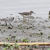 Sanderling and Spotted Sandpiper <br /> Ellis Bay <br /> Riverlands Migratory Bird Sanctuary