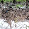 Wood Ducks <br /> Spillway Marsh <br /> Riverlands Migratory Bird Sanctuary