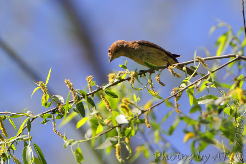 Indigo Bunting <br /> Columbia Bottom Conservation Area