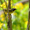 Common Yellowthroat <br /> Columbia Bottom Conservation Area