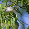 Blue-gray Gnatcatcher <br /> Columbia Bottom Conservation Area