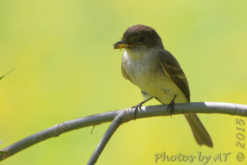Eastern Phoebe <br /> Columbia Bottom Conservation Area