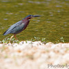 Green Heron <br /> Blue Spring