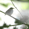 Swainson's Warbler <br /> Greer Crossing Access on Eleven Point River