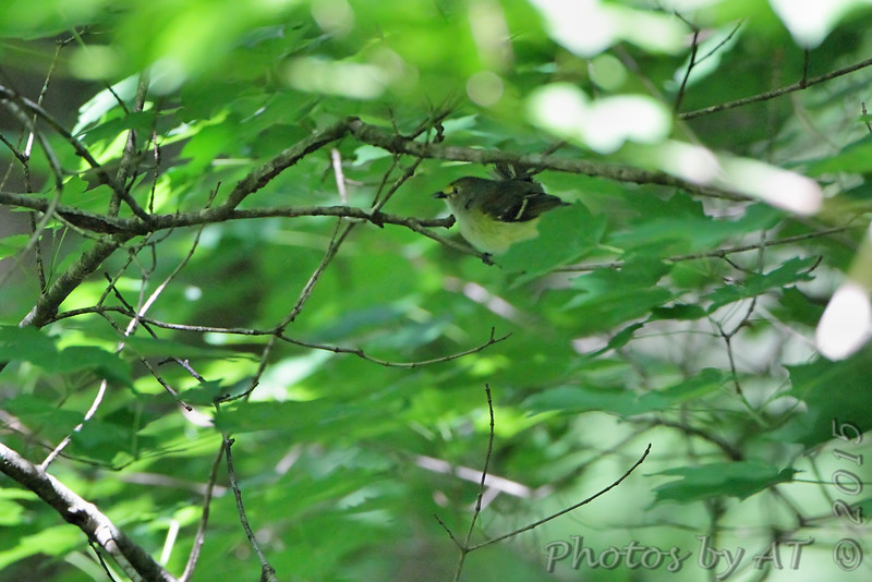 White-eyed Vireo <br /> Greer Crossing Access on Eleven Point River