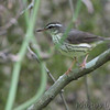 Northern Waterthrush  <br /> Blue Spring