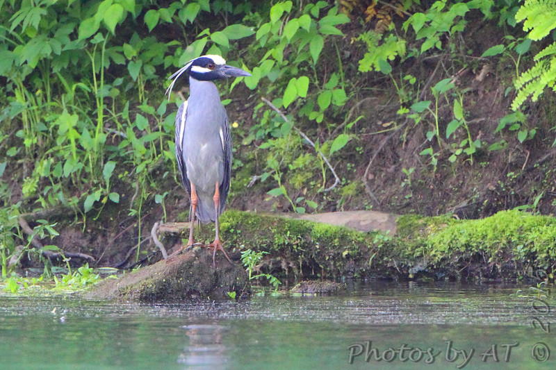 Yellow-crowned Night-Heron <br /> Across the river <br /> Greer Crossing Access on Eleven Point River
