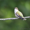 Ruby-throated Hummingbird <br /> St. Charles County