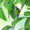 Wilson's Warbler <br /> Tower Grove Park