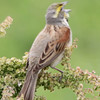 """Dickcissel <br> Columbia Bottom Conservation Area <br> 2015-05-22 <br><br>  <span class=""""noShowSmart""""> <a href=""""/MyKeywords/Bird-Videos/n-gF9bt/i-r8jhhhZ/A""""> <span style=""""color:yellow"""">Click here to open video in lightbox/full screen</span></a> </span>  <span class=""""noShowGallery""""> <a href=""""/Birds/2015-Birding/Birding-2015-May/2015-05-22-RMBS-CBCA/i-r8jhhhZ/A""""> <span style=""""color:yellow"""">Click here to open video in lightbox/full screen</span></a> </span>"""