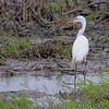 Great Egret <br /> Heron Pond  <br /> Riverlands Migratory Bird Sanctuary<br /> 2015-05-24