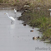 Great Egrets <br /> Heron Pond output channel  <br /> Riverlands Migratory Bird Sanctuary<br /> 2015-05-24