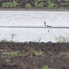 American Avocet <br /> Levee Break Pool <br /> Confluence State Park Road <br /> 2015-05-30