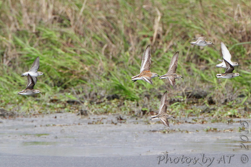 Semipalmated Sandpipers and Dunlin <br /> Heron Pond  <br /> Riverlands Migratory Bird Sanctuary<br /> 2015-05-24