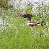 Northern Shovelered <br /> Heron Pond <br /> Riverlands Migratory Bird Sanctuary<br /> 2015-05-30