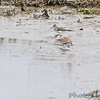 Solitary Sandpiper and Dunlin <br /> Heron Pond  <br /> Riverlands Migratory Bird Sanctuary<br /> 2015-05-24