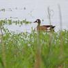 Blue-winged Teal  <br /> Heron Pond <br /> Riverlands Migratory Bird Sanctuary<br /> 2015-05-30