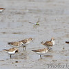 Semipalmated Sandpipers <br /> Dunlin in background <br /> Heron Pond  <br /> Riverlands Migratory Bird Sanctuary<br /> 2015-05-24
