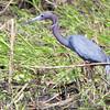 Little Blue Heron <br /> Heron Pond <br /> Riverlands Migratory Bird Sanctuary<br /> 2015-05-24