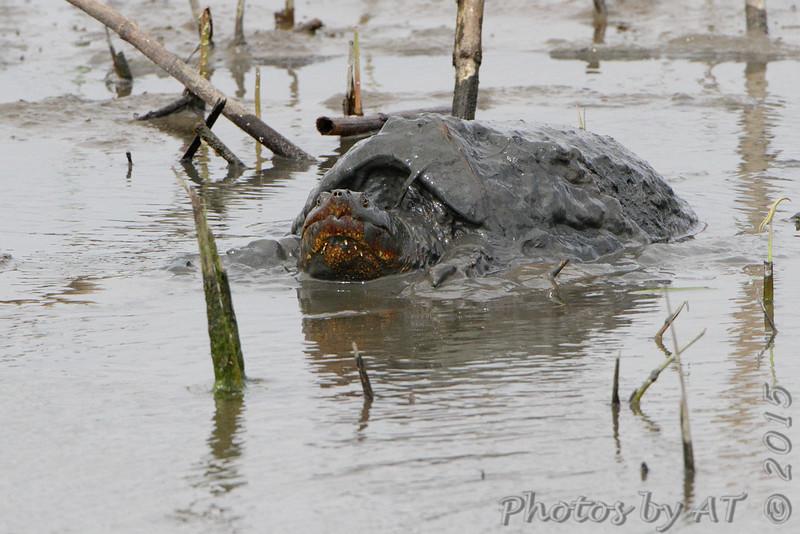 Snapping turtle <br /> Heron Pond  <br /> Riverlands Migratory Bird Sanctuary<br /> 2015-05-24