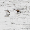 Semipalmated Sandpiper and Dunlin <br /> Heron Pond  <br /> Riverlands Migratory Bird Sanctuary<br /> 2015-05-24