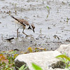 Killdeer (juvenile)<br /> Ellis Bay  <br /> Riverlands Migratory Bird Sanctuary<br /> 2015-05-24