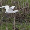Snowy Egret <br /> Heron Pond  <br /> Riverlands Migratory Bird Sanctuary<br /> 2015-05-24