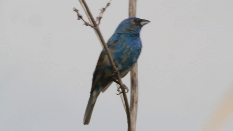 "Indigo Bunting <br> Heron Pond <br> Riverlands Migratory Bird Sanctuary  <br> 5/28/15 <br>  <span class=""noShowSmart""> <a href=""/MyKeywords/Bird-Videos/n-gF9bt/i-v7jHbTZ/A""> Click here to open video in lightbox</a> </span>  <span class=""noShowGallery""> <a href=""/Birds/2015-Birding/Birding-2015-May/2015-05-24-30-RMBS/i-v7jHbTZ/A""> Click here to open video in lightbox</a> </span>"