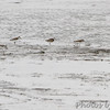 Semipalmated Sandpipers <br /> Heron Pond  <br /> Riverlands Migratory Bird Sanctuary<br /> 2015-05-24