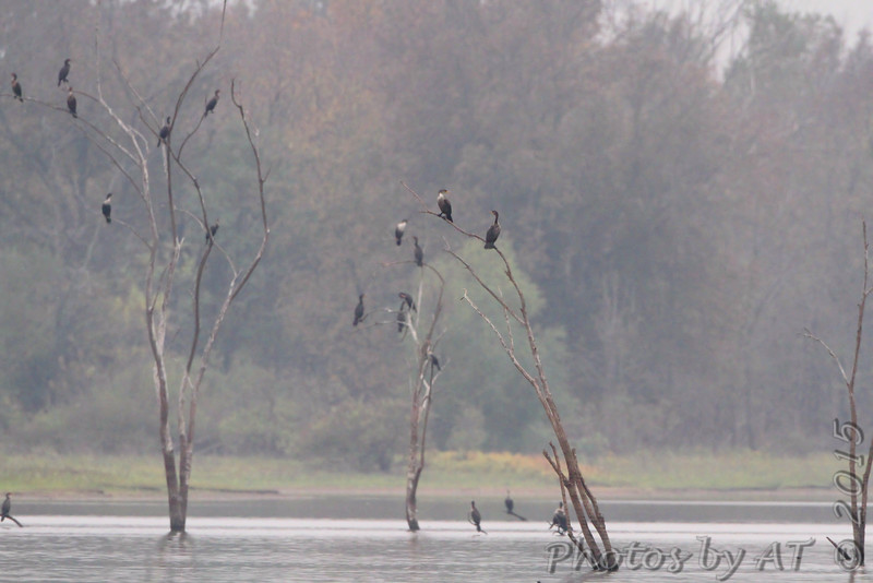 Double-crested Cormorants <br /> Hazlet State Park <br /> Carlyle Lake, Illinois