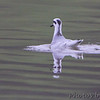 Red Phalarope <br /> Hazlet State Park <br /> Carlyle Lake, Illinois
