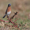 Eastern Bluebird <br /> Polk County, MO