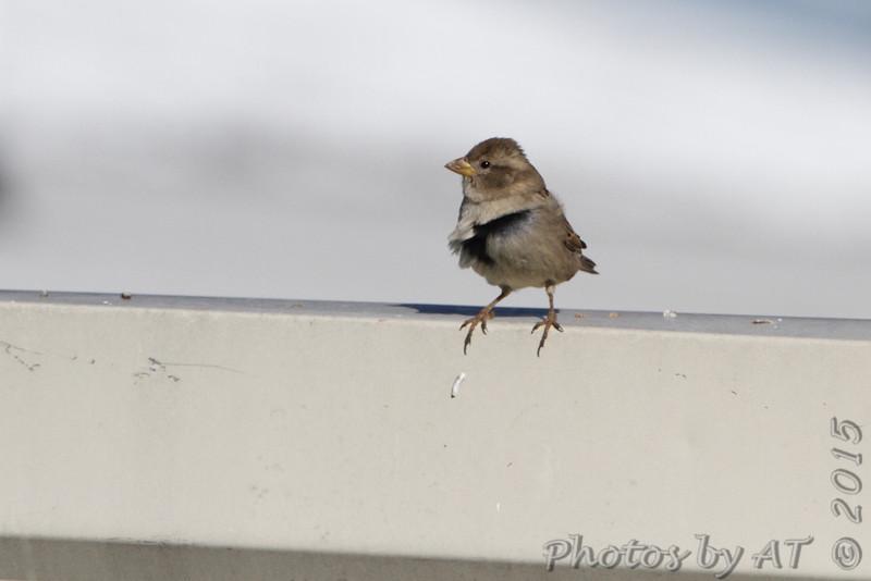 House Sparrow <br /> Polk County, MO