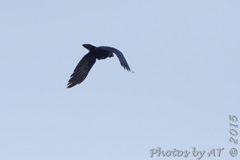 American Crow <br /> Polk County, MO