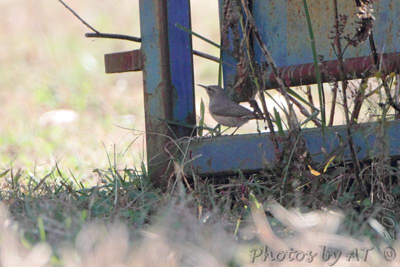 Rock Wren <br /> Polk County, MO