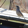 Rock Wren <br /> Polk County, MO