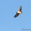 Red-tailed Hawk <br /> Polk County, MO