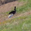 Cattle Egret and Canada Goose <br /> Riverlands Migratory Bird Sanctuary