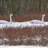 Tundra Swans <br /> Heron Pond <br /> Riverlands Migratory Bird Sanctuary