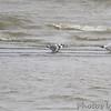 Franklin's Gulls <br /> and Ring-billed Gulls <br /> Ellis Bay <br /> Riverlands Migratory Bird Sanctuary