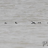 Bufflehead <br /> Lincoln Shields Area <br /> Riverlands Migratory Bird Sanctuary