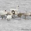 Tundra and Trumpeter Swans <br /> Ellis Bay <br /> Riverlands Migratory Bird Sanctuary
