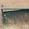 Northern Harrier <br /> Heron Pond west blind <br /> Riverlands Migratory Bird Sanctuary
